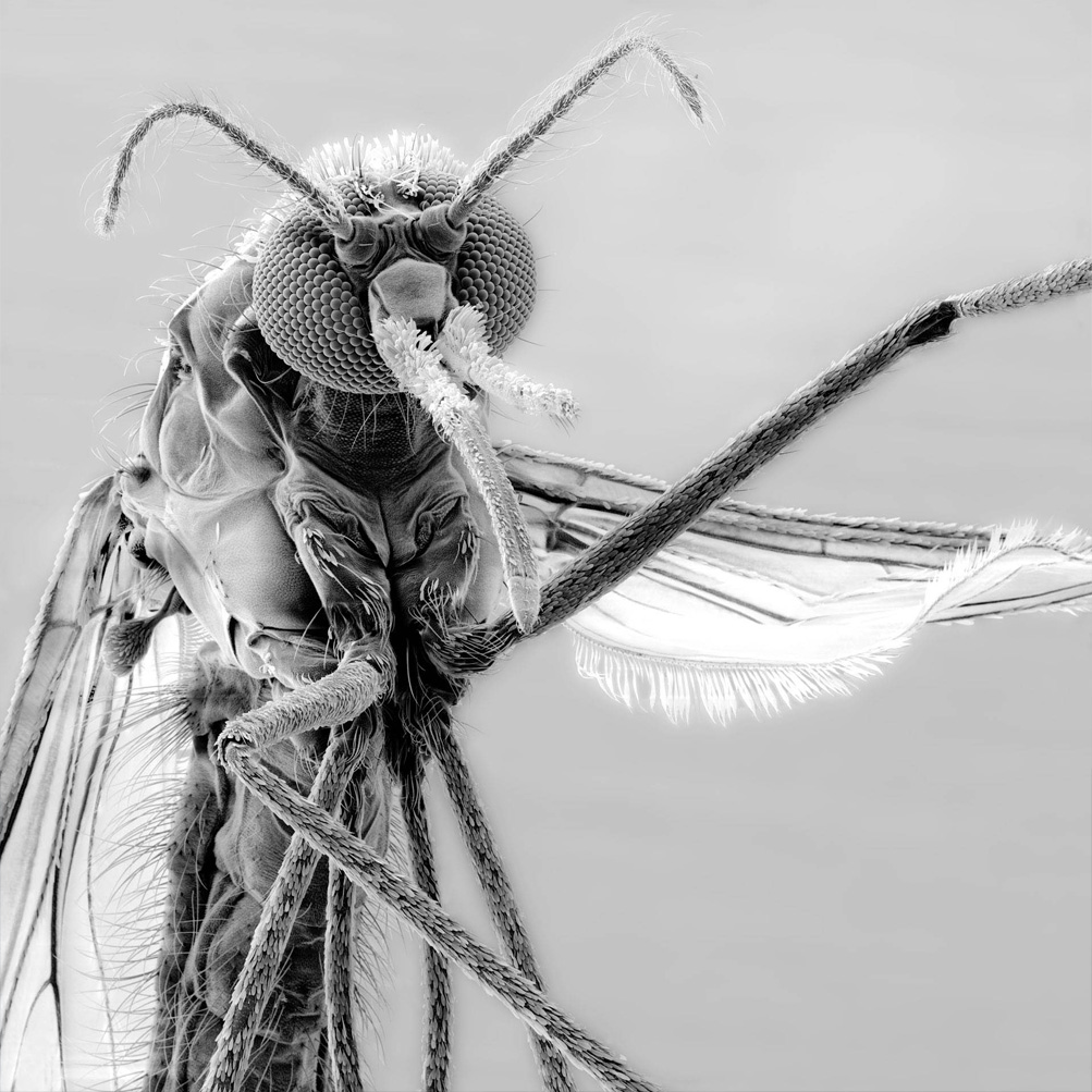 Head of a female mosquito
